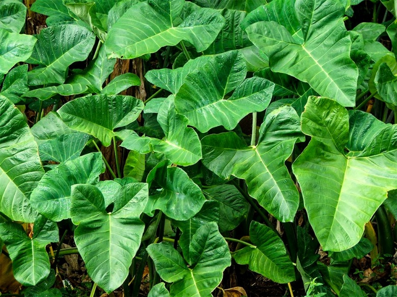 Callallo leaves also known as taro leaves