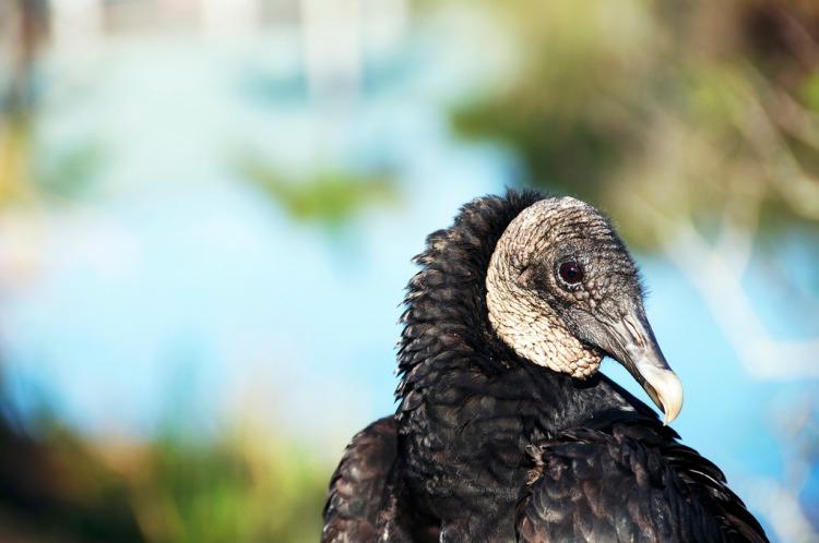 black vulture 2