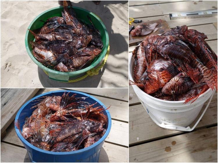 buckets of lionfish